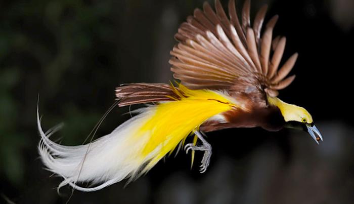 uccelli_del_paradiso_2